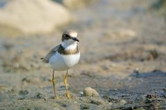Little Ringed Plover Stock Photos