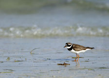 Little ringed plover on the coast Stock Photo