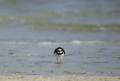 Little ringed plover from front Stock Photos