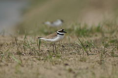 Little Ringed Plover, gravel, birds. Adult alarming Royalty Free Stock Photos