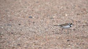 Little Ringed Plover stock footage