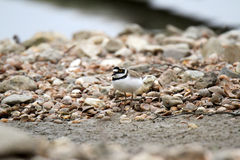 Little ringed plover Royalty Free Stock Image