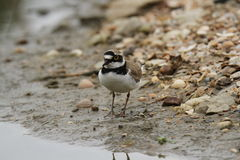 Little ringed plover Royalty Free Stock Photography