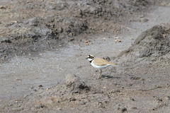 Little ringed plover in the spring in a marriage dress Royalty Free Stock Images