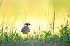 Little Ringed Plover standing on a grass in meadow Royalty Free Stock Photos
