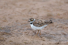 Little ringed Plover standing on mud Royalty Free Stock Photos
