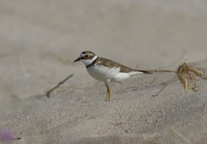 Little Ringed Plover standing on sand. Stock Photo