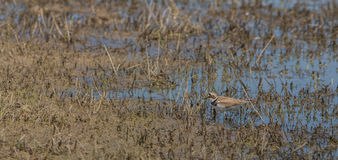 Little Ringed Plover at a swamp Stock Photos