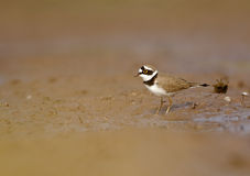 Little Ringed Plover Royalty Free Stock Photos