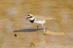 Little Ringed Plover Watching Stock Photo