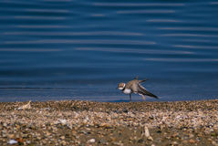 Little ringed plover in winter plumage stretching its wing Royalty Free Stock Photo