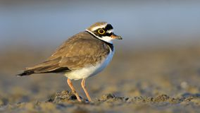 Free Little Ringed Plover & X28;Charadrius Dubius& X29; Royalty Free Stock Images - 108019049