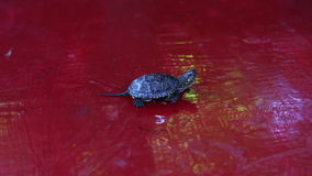 Little river turtle crawling on the table stock video footage