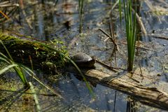 Little River turtle crawls on overgrown mud log. Wild untouched. Nature, animal in its natural habitat Royalty Free Stock Images