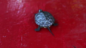 The little river turtle in the hand stock video