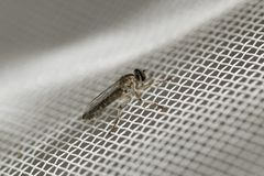 Little robber fly landed on a white plastic net. Macro photography. Close-up image. royalty free stock images