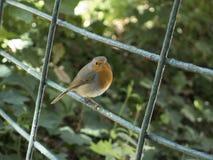 Little robin bird Royalty Free Stock Photo