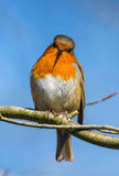 Little robin bird on a tree branch. Looking forward Royalty Free Stock Photography