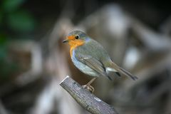 Little Robin on a branch. A little  Robin Stock Images