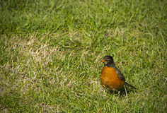 Little Robin Stock Images
