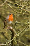 Little robin red breast. Robin red breast sitting on a branch of a tree Stock Images