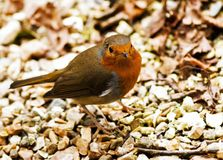 Little Robin Redbreast. This little robin came near us when sat at a table outside a cream tea place, looking for crumbs or waiting for crumbs to dropped near Stock Photos