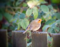 Little robin Royalty Free Stock Photo