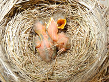 Little Robins Royalty Free Stock Image
