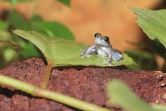Little rock frog Royalty Free Stock Image