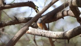 Little rock thrush on dry tree branch. Little rock thrush, Monticola rufocinereus, perches on tree branch in Simbo Lodge, Lake Langano, Ethiopia, Africa stock video footage