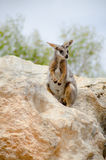Little rock wallaby in natural environment Stock Image