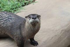Little Rock-Zoo - Herr Otter-Mann Stockfotografie