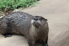 Little Rock-Zoo - Herr Otter-Mann Lizenzfreie Stockfotografie