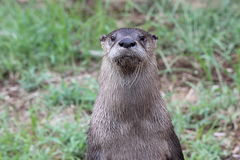Little Rock Zoo - Mr. Otter-Man. A curious otter at the Little Rock Zoo royalty free stock image