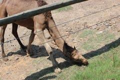 Little Rock-Zoo-Tiere - Kamel lizenzfreie stockfotos
