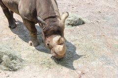Little Rock-Zoo-Tiere - schwarzes Nashorn 3 lizenzfreie stockfotos