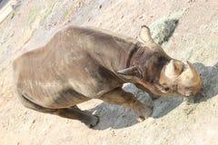 Little Rock-Zoo-Tiere - schwarzes Nashorn 2 Stockfoto