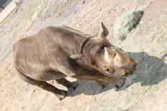 Little Rock-Zoo-Tiere - schwarzes Nashorn Lizenzfreie Stockbilder