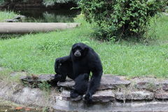 Little Rock-Zoo-Tiere - Siamang Lizenzfreies Stockfoto