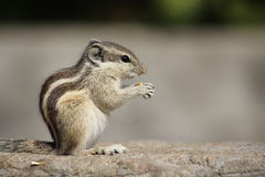 Little rodent eating an acorn Royalty Free Stock Images