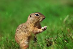 Little rodent, syslic, sulfur in grass royalty free stock image