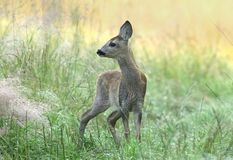 Little roe deer Stock Image