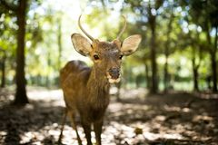 Little roe deer Royalty Free Stock Photography