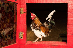 Little rooster Royalty Free Stock Photo