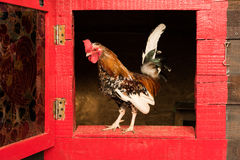 Little rooster Royalty Free Stock Photography