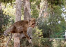Little rope-walking monkey Stock Photography
