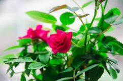 Little rose. Favorite by many roses is not for nothing called the queen - this is one of the most popular flowers in the whole world. This magnificent flower is Stock Images