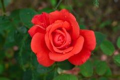 Little rose flower close-up. Rose flower in garden on summer Stock Photography