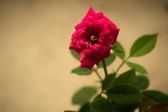 Little rose. Red tiny rose flower blooming gracefully Royalty Free Stock Photography