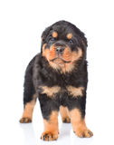 Little rottweiler puppy standing in front view. Isolated on white Royalty Free Stock Photo